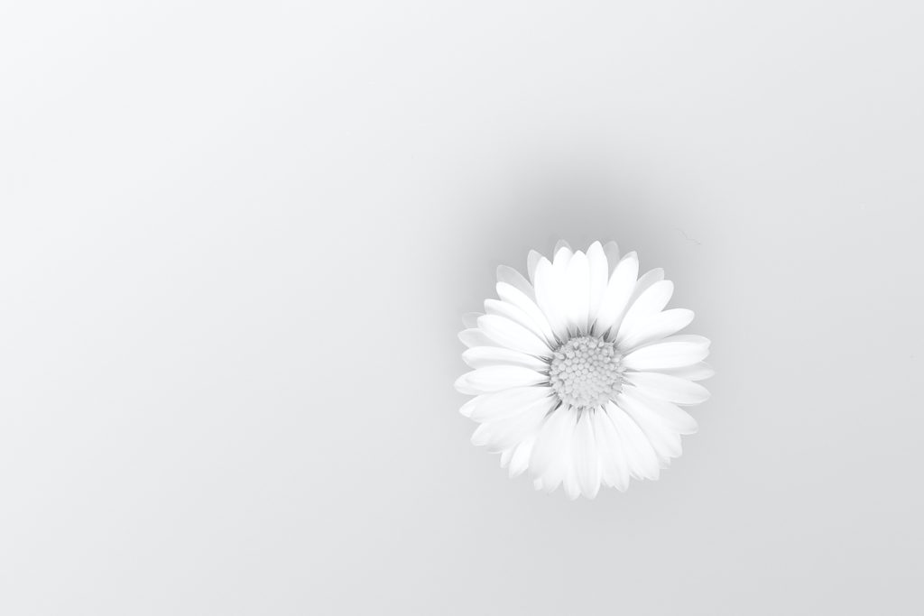 white daisy in close up photography